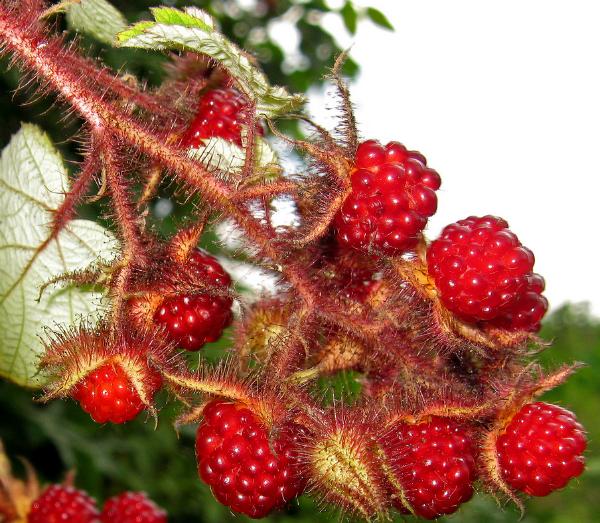 О пурпурноплодной малине Японской: описание сорта, посадка и уход