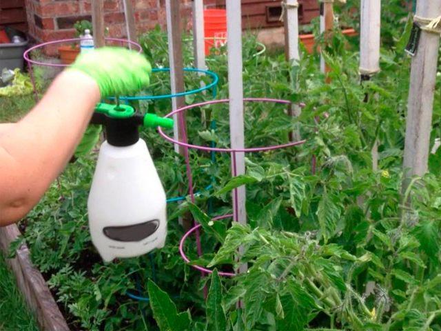 Борная кислота для томатов: опрыскивание, обработка, разведение, пропорции