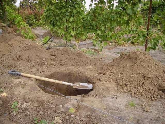 Черная смородина Гулливер: описание сорта, уход и выращивание