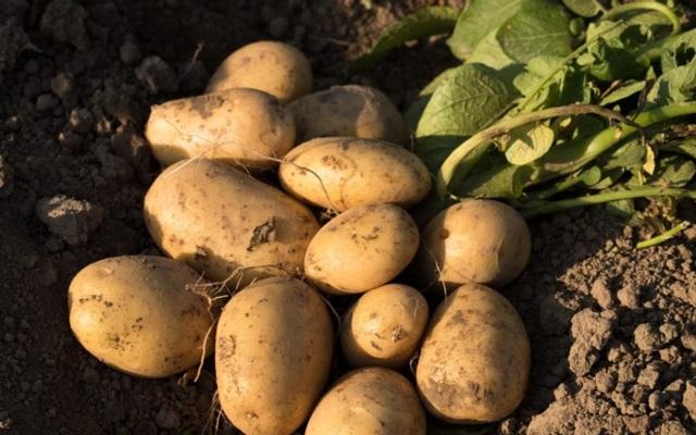 Лабадия: описание семенного сорта картофеля, характеристики, агротехника