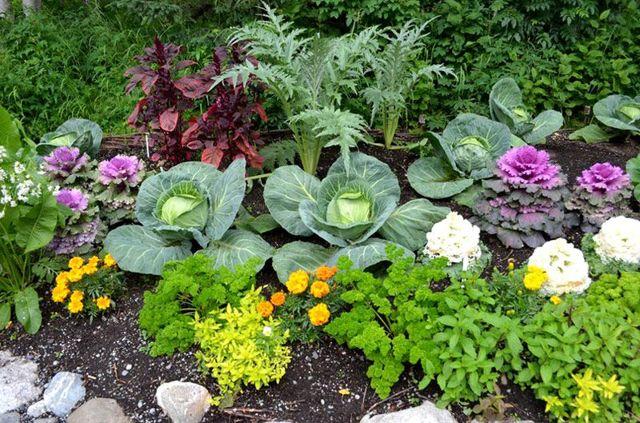 Совместимость петрушки с другими овощами: с какими растениями