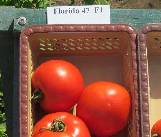 О томате Флорида: описание и характеристики сорта, посадка и уход