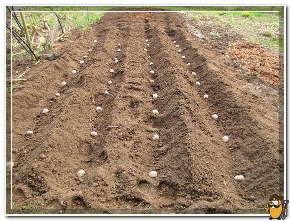 Двухрядная посадка картофеля с широкими проходами: схемы и описание