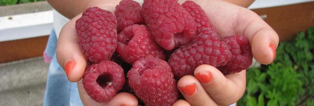 Лучшие сорта малины: описание самых сладких, крупных, урожайных