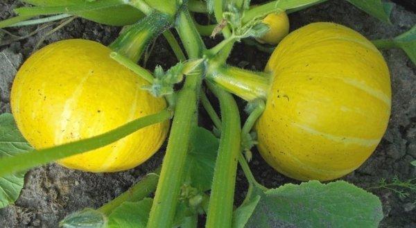 Все о тыкве Улыбка: описание крупноплодного сорта, выращивание и уход