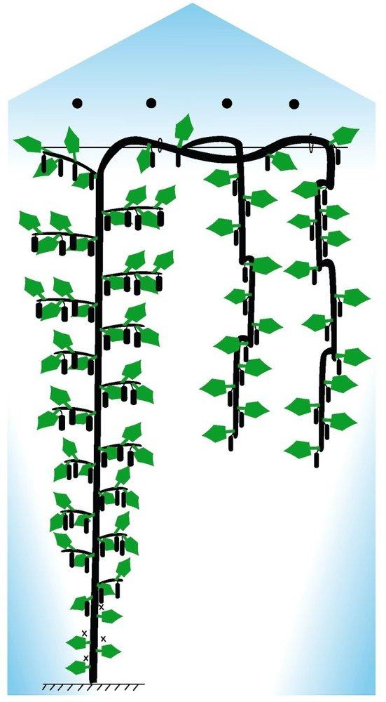 Все о сорте огурца Адам: описание, агротехника выращивания и уход