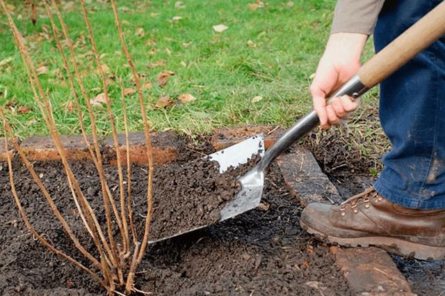 Какая почва нужна для смородины черной: обкапывание, защита от заморозков