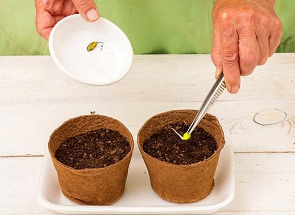 Когда сажать тыкву на рассаду: как посадить семена в домашних условиях