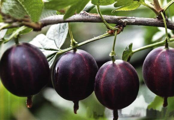 О крыжовнике Командор: описание и характеристики сорта, уход и выращивание