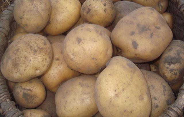 О картофеле Рябинушка: семенной сорт картофеля, характеристики, агротехника