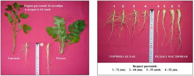 Масличная редька: когда сеять, технологии возделывания, применение