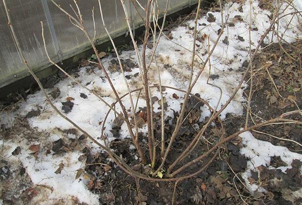 Когда весной поливать кипятком кусты смородины: правила ухода