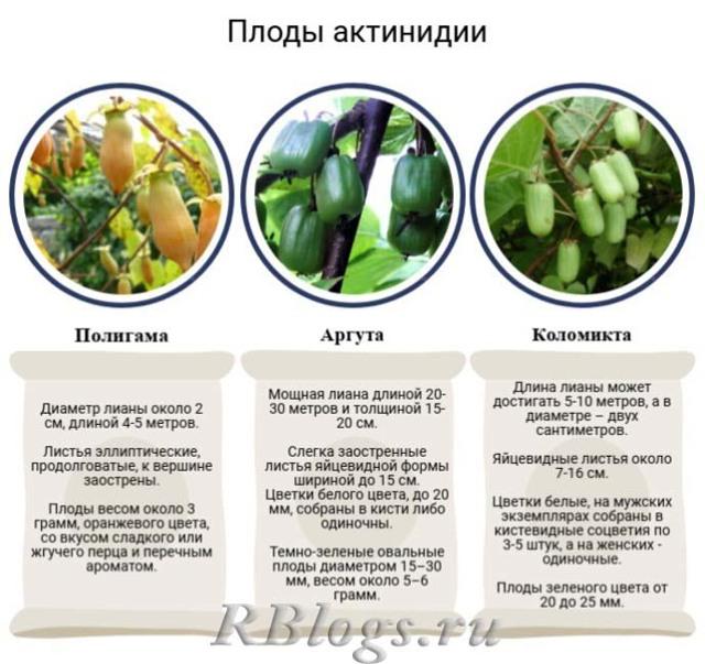 Актинидия коломикта: описание и характеристики сортов, посадка и уход