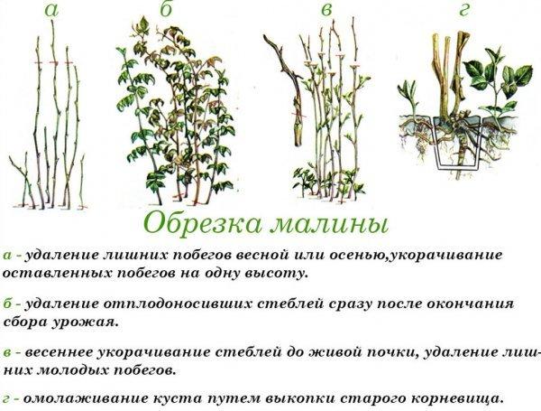 О ремонтантной малине Изобильной Казакова: описание сорта, особенности по уходу