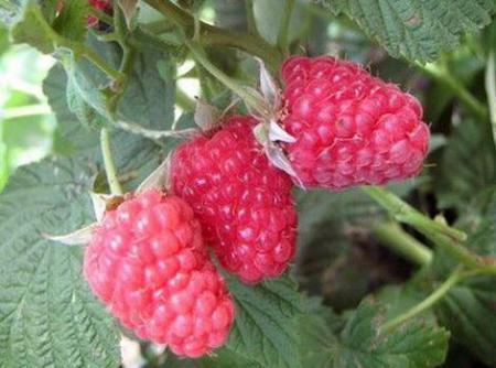 О малине Вольница: описание и характеристики сорта, особенности по уходу
