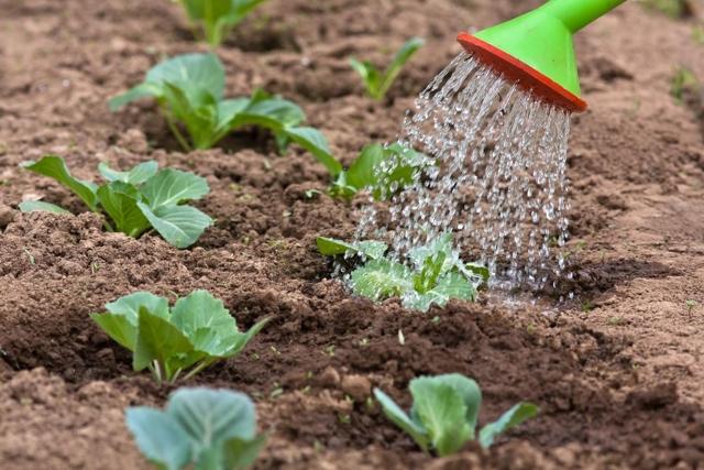 О капусте Харьковская: описание позднего сорта, особенности выращивания