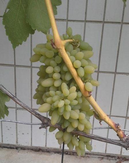 Описание сорта винограда Тимур, сравнение белого и розового разновидностей