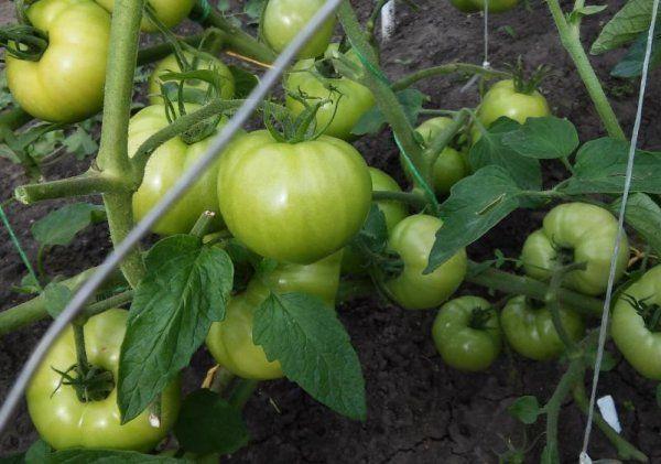 Розовое чудо: описание сорта томата, характеристики помидоров, посев