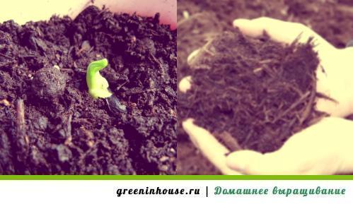 Все о выращивании арбузов из семян на огороде в домашних условиях