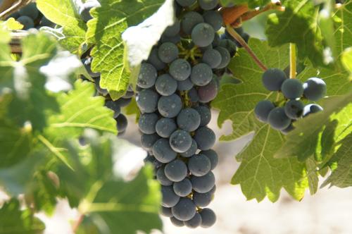 Виноград Темпранильо, описание сорта: происхождение, урожайность, вкус