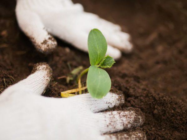 Все о сорте огурца Гармонист: описание, агротехника выращивания и уход