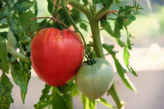 О томате Вельможа: описание и характеристики сорта, уход и выращивание