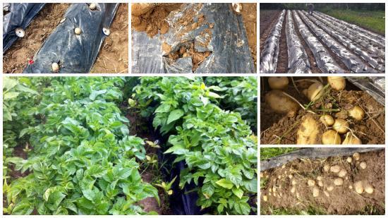 Помидоры под пленкой или укрывным материалом: когда высаживать, как выращивать