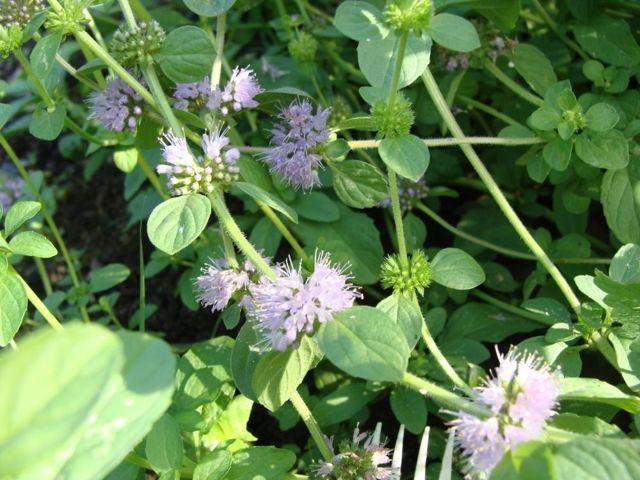 Болотная мята: выращивание, полезные свойства, способы применения