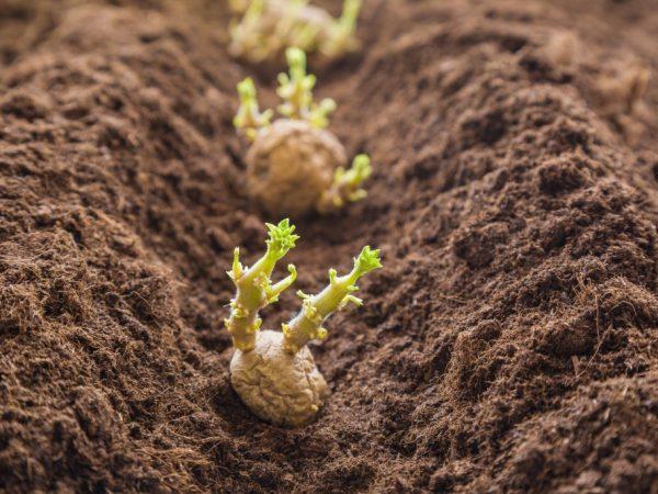 Сильвана: описание сорта картофеля, характеристики, агротехника