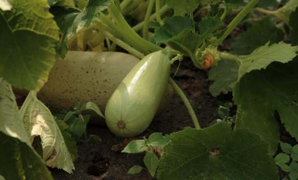О сорте кабачка Белогор f1: подробное описание сорта, агротехника выращивания