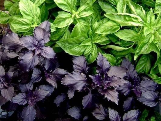 Как вырастить базилик: посев и уход за растением, условия для хорошего роста