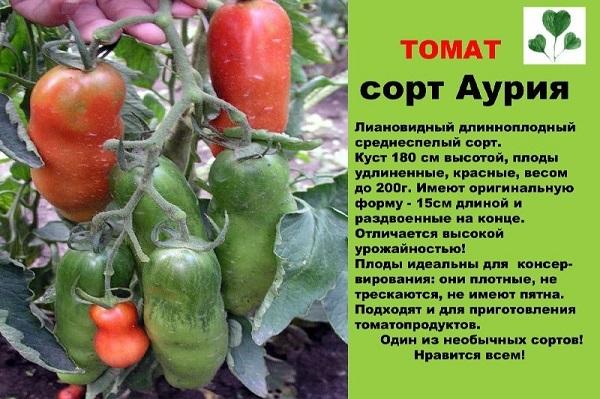 Мужское достоинство: описание сорта помидоров, характеристики томатов