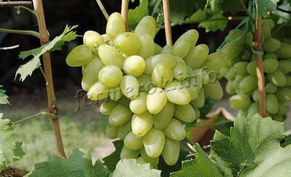 Описание винограда сорта Бажена, характеристики, отличительные черты, содержание и уход