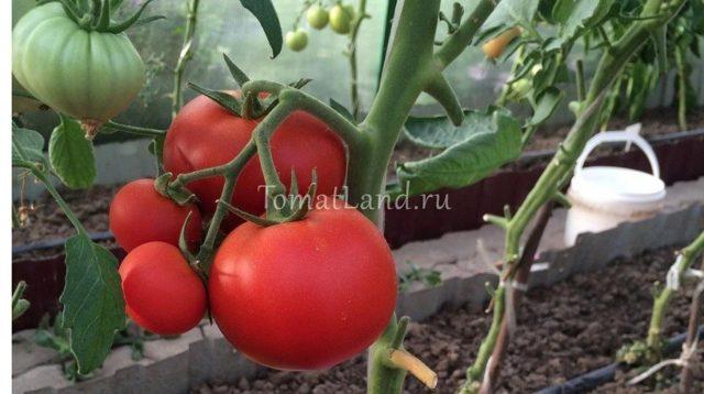 О томате Чудо рынка: описание сорта, характеристики помидоров, посев