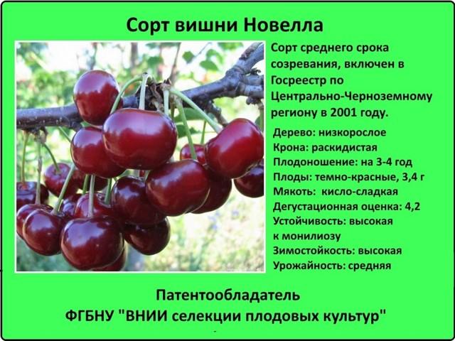 О сортах вишни для Средней полосы России: самых крупных и сладких