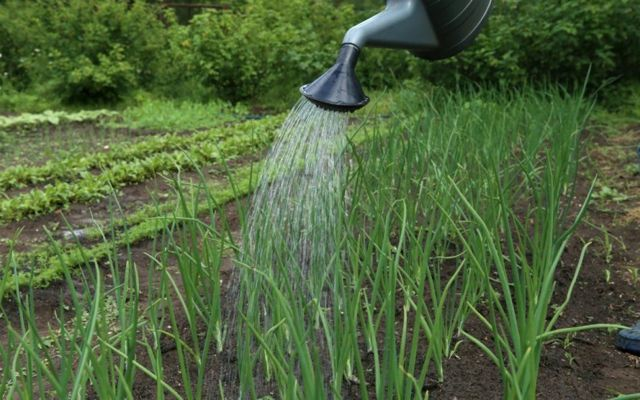 Все о выращивании лука Батун: посев и уход за растением, условия для роста