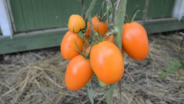 Перцевидный: описание сорта томата, характеристики помидоров, посев