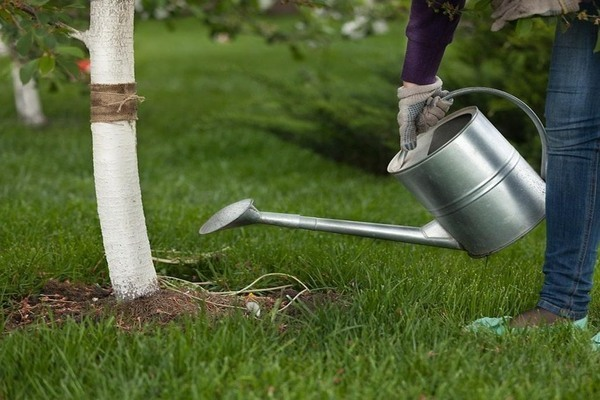 Посадка вишни весной в Подмосковье, подготовка, полив, правильный уход