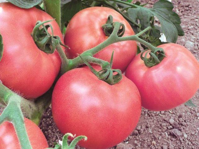 Торбей: описание сорта томата, характеристики помидоров, посев