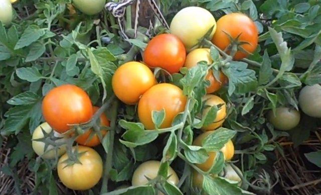 Загадка: описание сорта томата, характеристики помидоров, посев