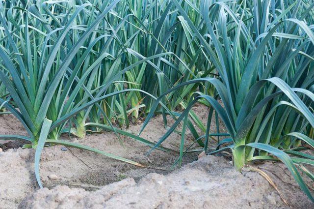 Как вырастить лук порей в Сибири: высадка рассады и уход