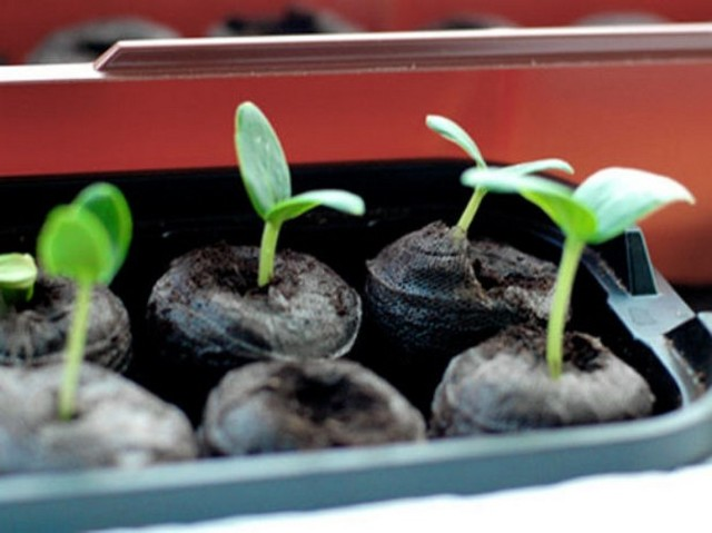 Рассада огурцов без земли в скрутке: посев, правила ухода, урожайность