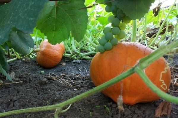 Все о тыкве Медовой: описание сорта, выращивание в открытом грунте