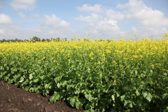 Все о горчице сарептской: как выглядит, выращивание, применение