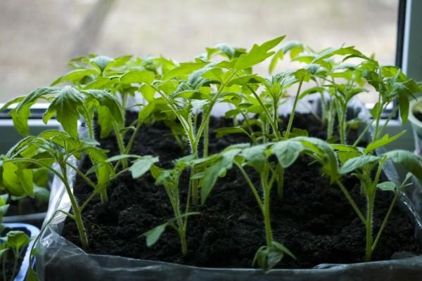 Через сколько дней всходят помидоры, на какой день после посева, как всходят томаты
