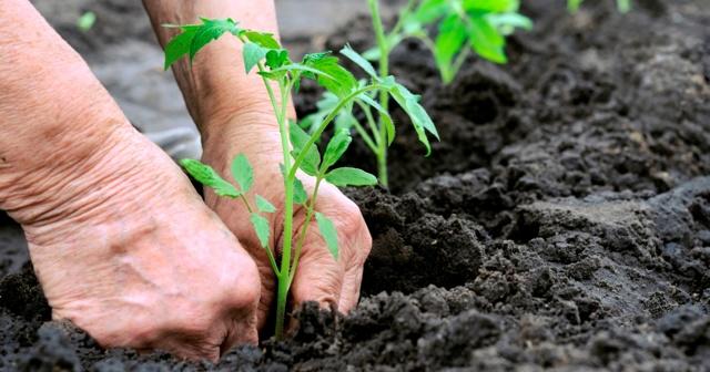 Когда сажать помидоры в грунт: в мае, апреле; как посадить томаты в грунт