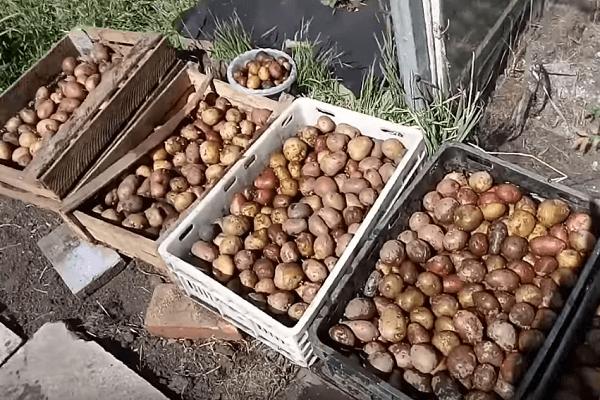 Обработка картофеля перед посадкой от проволочника и колорадского жука