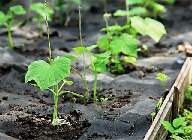 О посадке огурцов в открытый грунт семенами: когда можно сеять и как