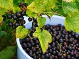 Смородина черная: какие причины того, что ягода не плодоносит