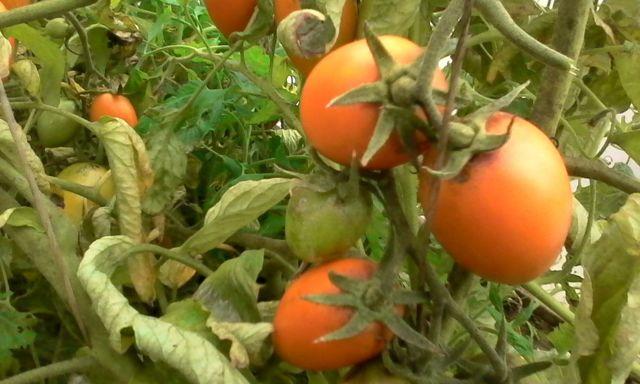 Лисичка: описание сорта томата, характеристики помидоров, посев